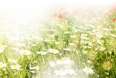 Beautiful poppy and daisy flowers sunny background Royalty Free Stock Images