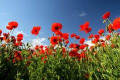 Beautiful Poppy Field Royalty Free Stock Photos