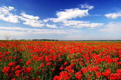 Beautiful poppy field Stock Image
