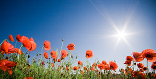 Beautiful poppy field Stock Photo