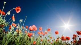 Beautiful poppy field Royalty Free Stock Photography