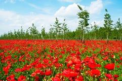 Beautiful poppy field beneath the blue sky Royalty Free Stock Photography
