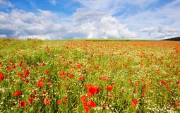 Beautiful poppy field and blue sky. Royalty Free Stock Image
