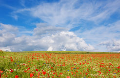 Beautiful poppy field and blue sky. Stock Photos