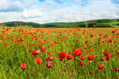 Beautiful poppy field and blue sky. Royalty Free Stock Images