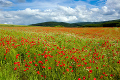Beautiful poppy field and blue sky. Stock Image