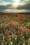 Beautiful poppy field landscape in Summer sunset light on South Royalty Free Stock Photography