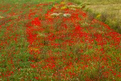 Beautiful poppy field in red and green landscape Royalty Free Stock Images