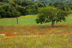 Beautiful poppy field in red and green landscape Stock Photography