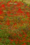Beautiful poppy field in red and green landscape Stock Photo