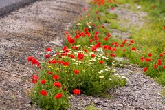 Beautiful poppy field in red and green landscape Royalty Free Stock Photography