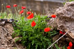 Beautiful poppy field in red and green landscape Royalty Free Stock Photo