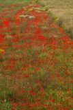 Beautiful poppy field in red and green landscape Stock Image