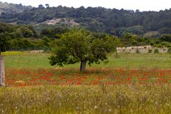 Beautiful poppy field in red and green landscape Stock Photos