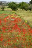 Beautiful poppy field in red and green landscape Stock Images