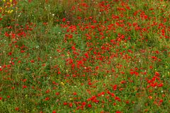 Beautiful poppy field in red and green landscape Royalty Free Stock Photos