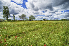 Beautiful poppy field with trees and blue sky. And clouds Royalty Free Stock Image