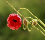 Beautiful poppy flower. Beautiful poppy  flower and buds on green background Royalty Free Stock Image
