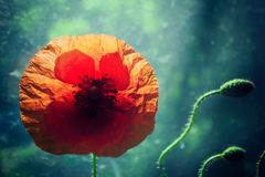 Beautiful poppy flower and couple of buds inddors. Beautiful poppy flower and couple of buds in front of window, backlit and dreamy Royalty Free Stock Images