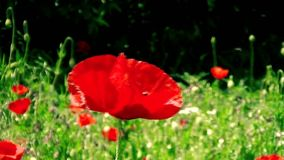 Beautiful poppy flower stock footage
