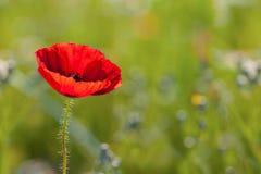 Beautiful Poppy Royalty Free Stock Photo