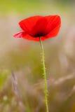Beautiful Poppy Flower Stock Image