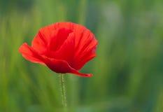 Beautiful Poppy Stock Photography
