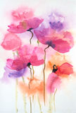 Beautiful poppy flowers. Abstract colorful poppy flowers on white, watercolor hand painted Stock Photography