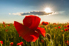 Beautiful poppy flowers  on beautiful sky background Stock Images