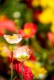 Beautiful poppy flowers blooming Stock Image
