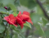 Beautiful poppy flowers with blurred nature background stock photography