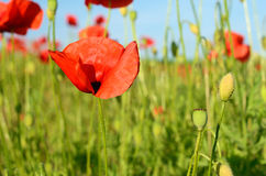 Beautiful poppy flowers in a field against the sky in pastel col Royalty Free Stock Photography