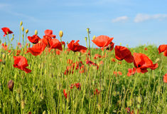 Beautiful poppy flowers in a field against the sky in pastel col Stock Photography
