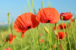 Beautiful poppy flowers in a field against the sky in pastel col Stock Photos