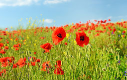 Beautiful poppy flowers in a field against the sky in pastel col Royalty Free Stock Photo