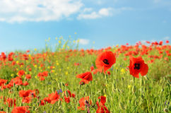 Beautiful poppy flowers in a field against the sky in pastel col Stock Images