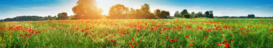 Beautiful poppy flowers on the field Royalty Free Stock Images