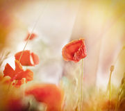 Beautiful poppy flowers Stock Image