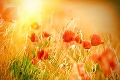 Beautiful poppy flowers in meadow Royalty Free Stock Image