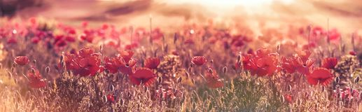 Beautiful poppy flowers in meadow - wild red poppy flowers. Beautiful poppy flowers in meadow, wild red poppy flowers lit by sun rays in late afternoon Stock Image