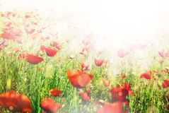 Beautiful poppy flowers sunny background Royalty Free Stock Images