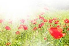Beautiful poppy flowers sunny background Stock Photo