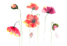 Beautiful poppy flowers. Watercolor painting of poppy flowers on white paper for home decorate or wall decorate Stock Photography