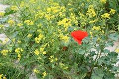 Beautiful poppy and radish flowers Royalty Free Stock Image