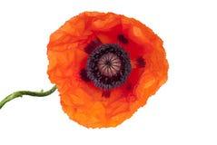 Beautiful poppy Royalty Free Stock Photography