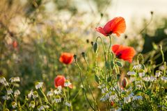 Beautiful poppy seed in the field at sunrise, Europe stock photo