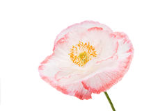 Beautiful poppy Royalty Free Stock Photos