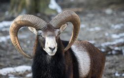 Beautiful portait of male sheep with horns looking at camera. Slovenia Stock Images