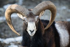 Beautiful portait of male sheep with horns looking at camera. Slovenia Royalty Free Stock Photography