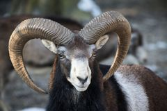 Beautiful portait of male sheep with horns looking at camera. Slovenia Stock Image